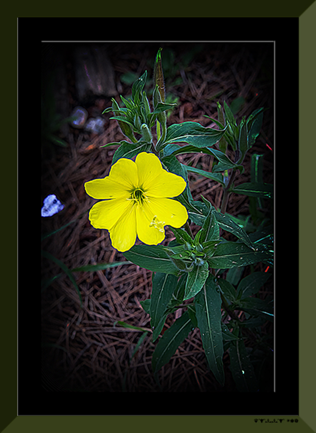 Cutleaf Evening Primrose (1 of 1) art blog
