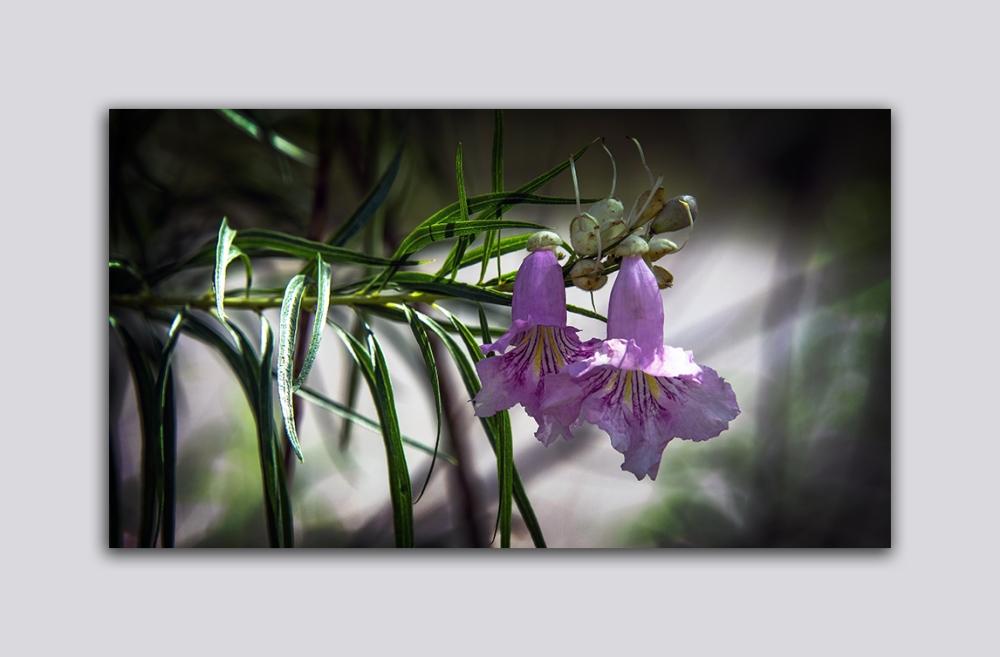 Desert Willow Blooms (1 of 1)-2 blog