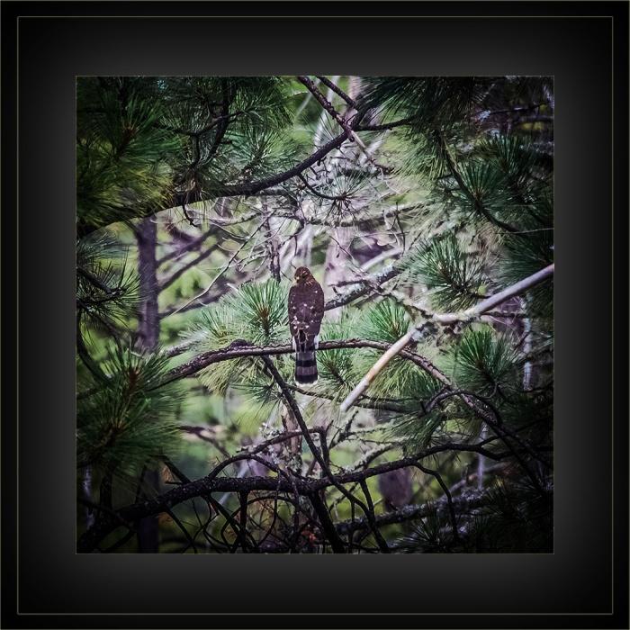 Hawk (1 of 1) blog