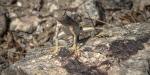 Lizard Walk (1 of 1)-27 Greater Earlessblog