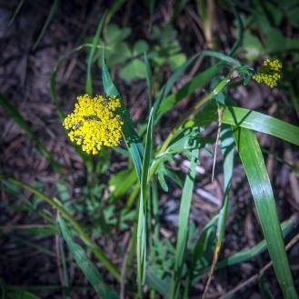 Mountain parsley