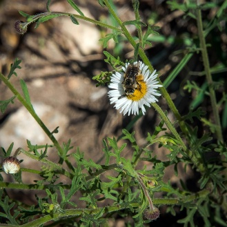 New Mexico fleabane