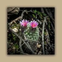 Pincushion Cactus & Resurrection Plant