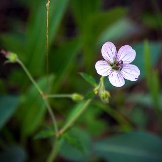 Richardsons geranium