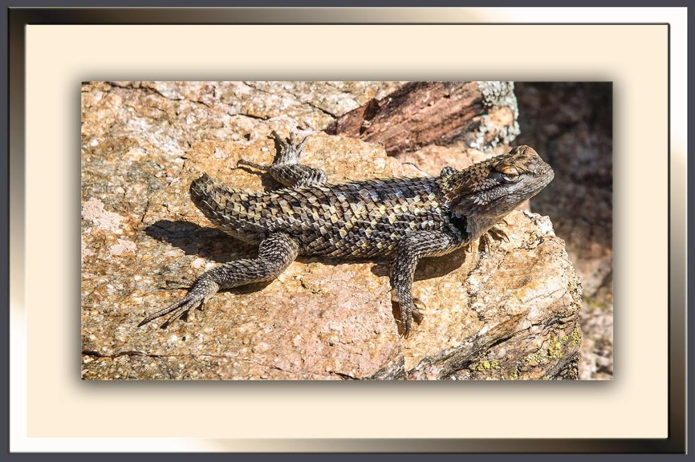 Spiny Lizard (1 of 1) blog