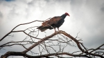 Turkey Vulture (1 of 1)-8 blog