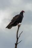Turkey Vulture at Tanque Verde Wash