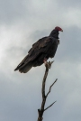 Turkey Vulture at Tanque Verde Wash