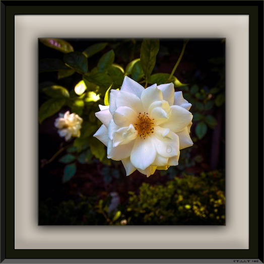 White Rose (1 of 1) blog