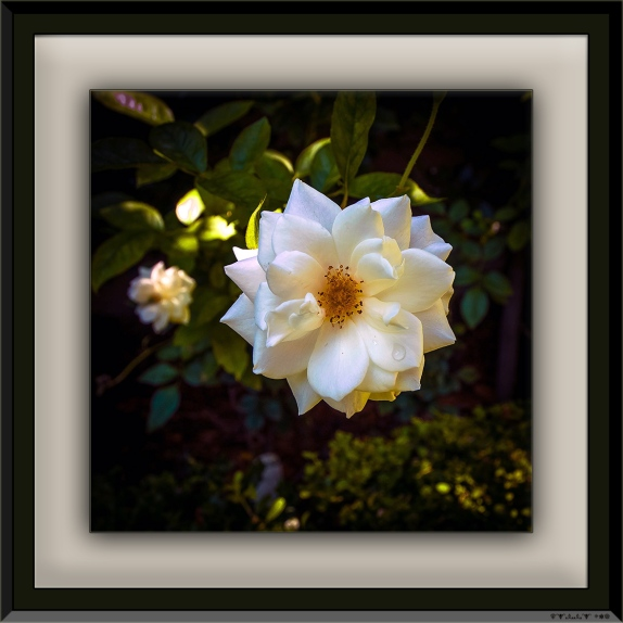 White Rose (1 of 1) blog