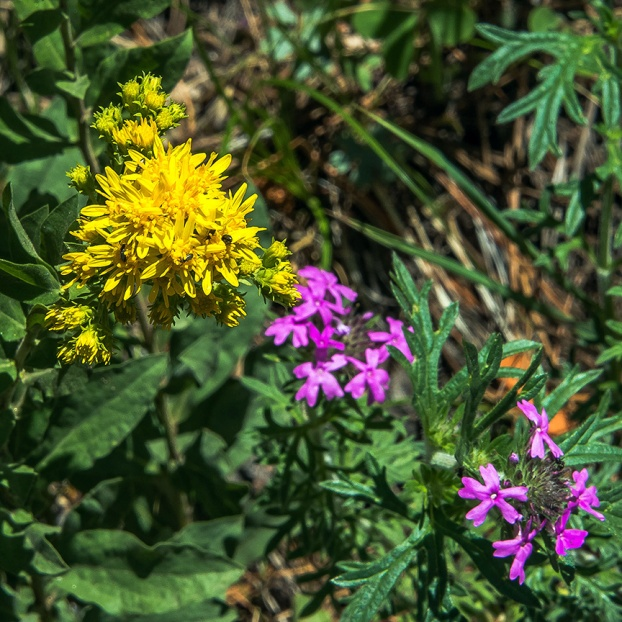 Wrights goldenrod and cranesbill