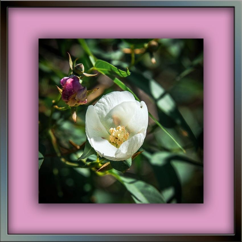 Desert Cotton  (1 of 1) blog