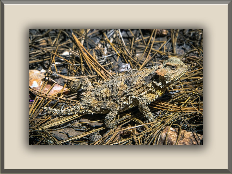 Short-horned Lizard (1 of 1) blog