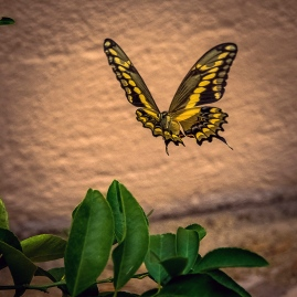 two-tailed swallowtail butterfly (1 of 1)-2 blog