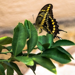two-tailed swallowtail butterfly (1 of 1)-4 blog