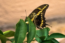 two-tailed swallowtail butterfly (1 of 1)-5 blog