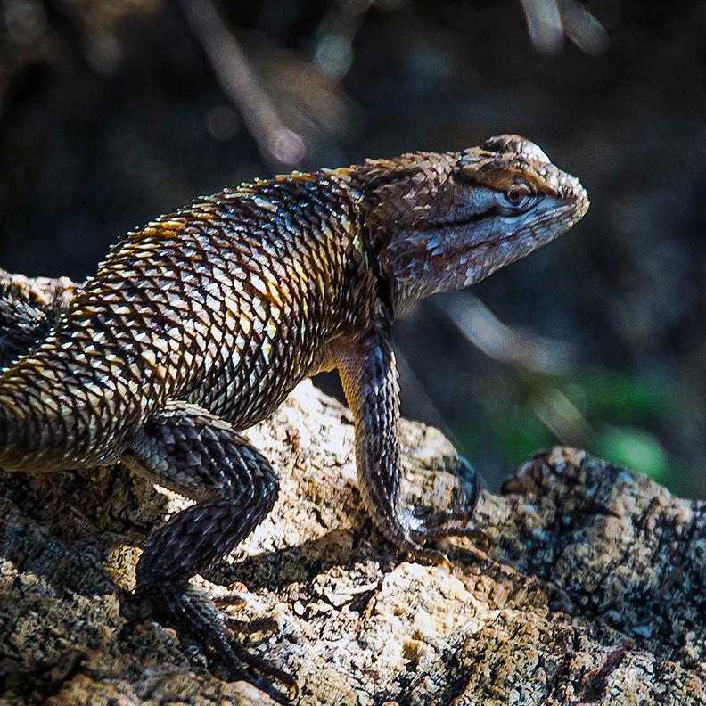 desert spiny lizard (1 of 1)-2 blog
