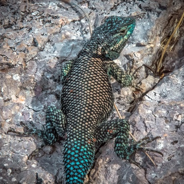 Mountain Spiny Lizard