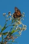 Queen Butterfly (1 of 1)-4blog