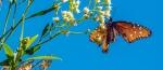 Queen Butterfly (1 of 1)-6blog