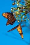 Queen Butterfly (1 of 1)-7blog
