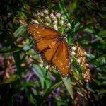 Queen Butterfly (1 of 1)-8blog