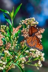 Queen Butterfly (1 of 1)-9blog