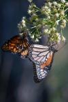 Queen Butterfly (1 of 1)blog