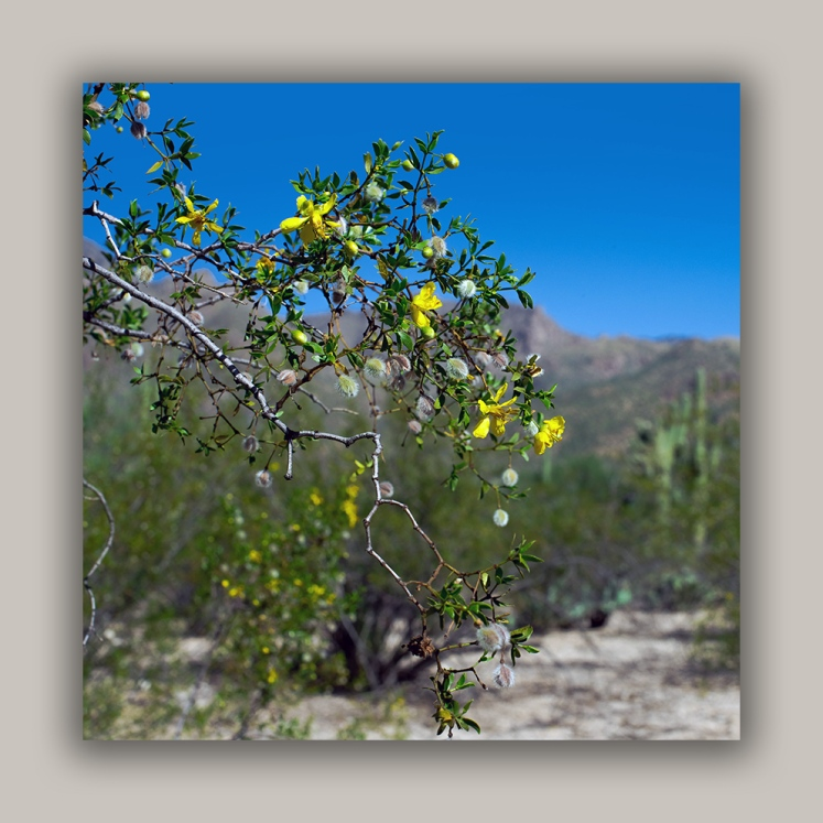 Creosote Bush (1 of 1)-2 blog