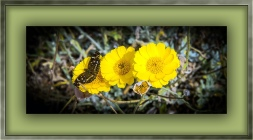 Desert Marigold (1 of 1) blog