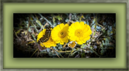 Desert Marigold (1 of 1) blog