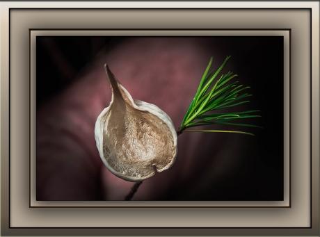 Milagrosa Loop (1 of 1)-33 Pine Leaf Milkweed Pod blog