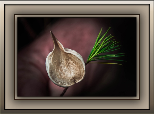 Milagrosa Loop (1 of 1)-33 Pine Leaf Milkweed Pod blog