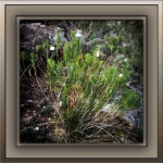 Milagrosa Loop (1 of 1)-34Pine Leaf Milkweedblog