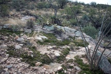 Resurrection Plants alone the La Milagrosa Loop