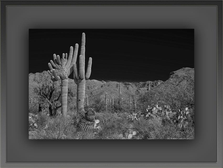 Saguaro (1 of 1) B-W_edit B-W blog