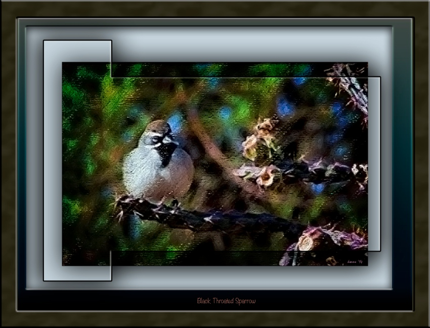 scvn-nature_20111207_0481-black-throated-sparrow-blog framed
