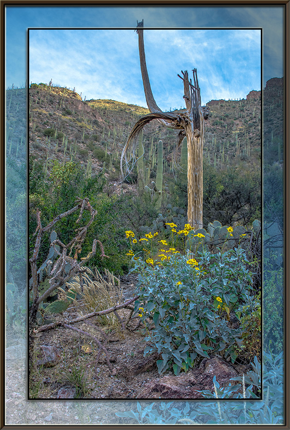 Ventana Canyon Brittlebush (1 of 1) blog