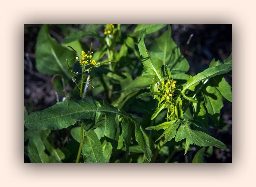 Ned's Walk (1 of 1)-5 mustard wildflower blog