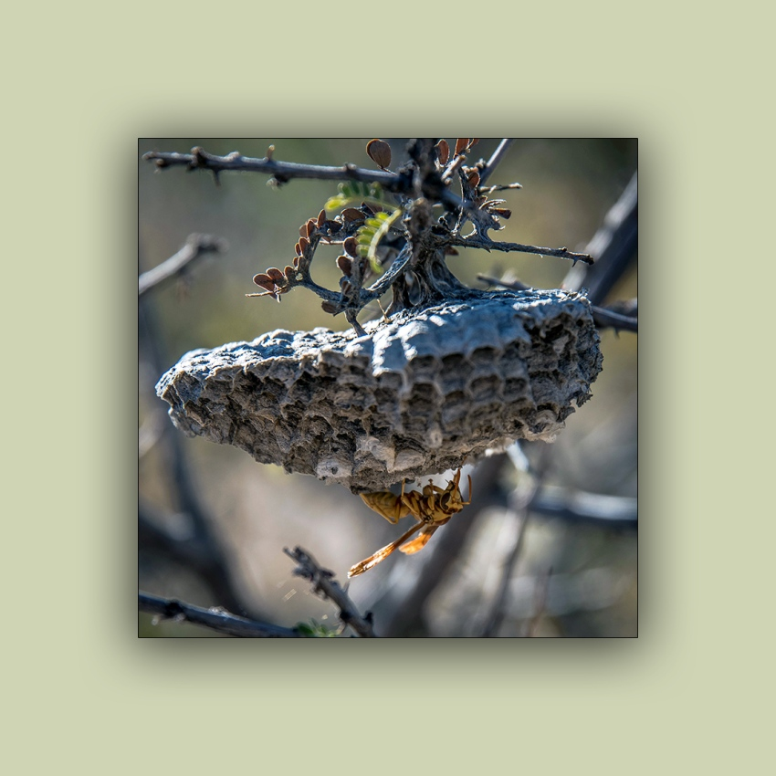 Ned's Walk (1 of 1)-7 Paper Wasp blog