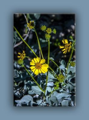 brittlebush (1 of 1)-2 blog
