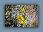 brittlebush (1 of 1)-3blog