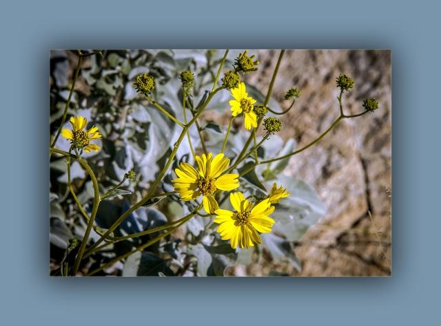 brittlebush (1 of 1)-3 blog
