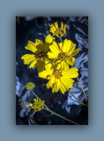 brittlebush (1 of 1)-4 blog