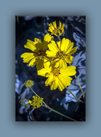 brittlebush (1 of 1)-4 blog