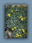 brittlebush (1 of 1)-5 blog
