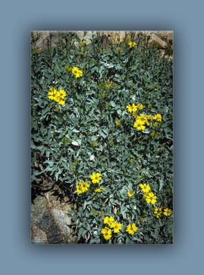 brittlebush (1 of 1)-5 blog