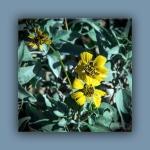 brittlebush (1 of 1)blog