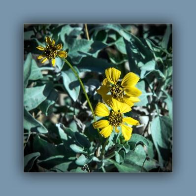 brittlebush (1 of 1) blog
