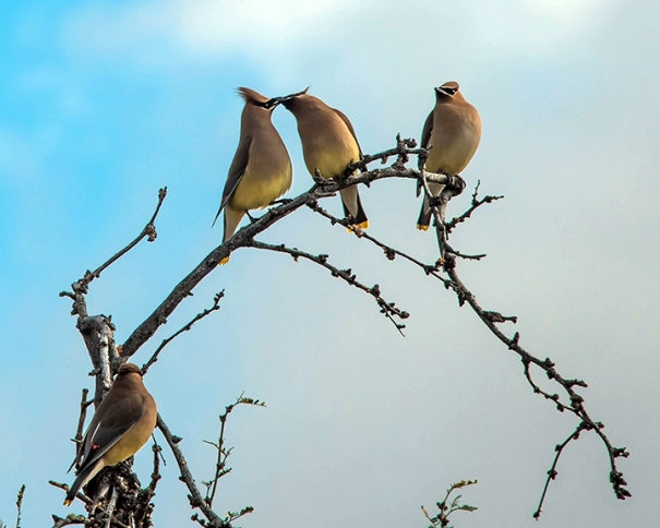 Cedar Waxwing (1 of 1)-11 blog